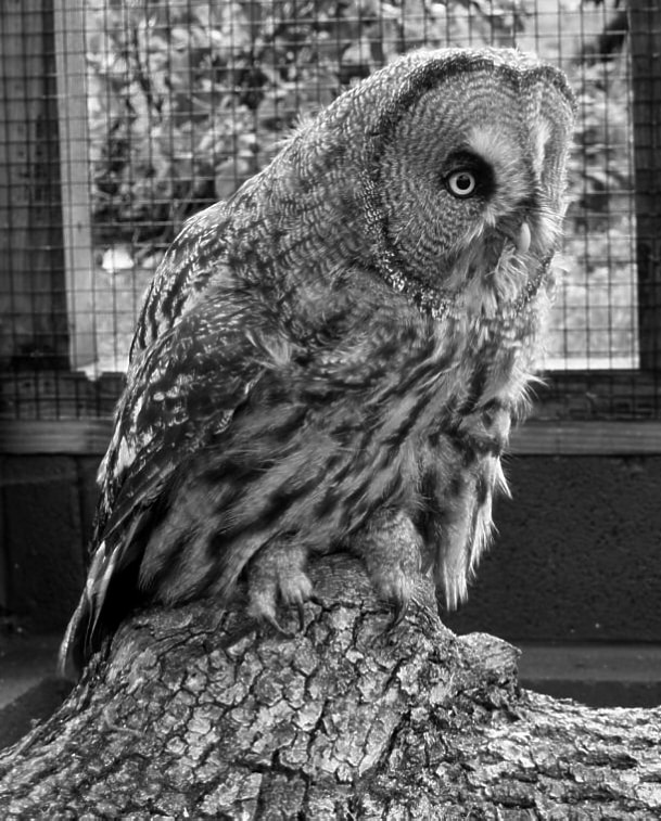 Great Grey B&W