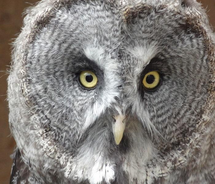 Great Grey close up